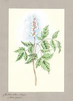 Actaea alba (Bigel.)