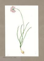 Allium cernum (Roth.)