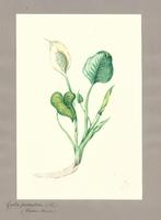 Calla  palustris L.
