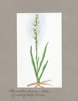 Spiranthes cernua Rich.