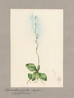 Spiranthes gracilis