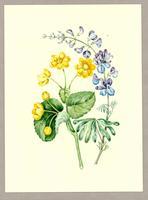 Caltha palustris ; Lupinus perennis