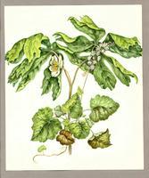 Tiarella cordifolia ; Podophyllum peltatum