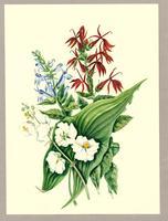 Sagittaria variabilis ; Lobelia syphilitica ; Lobelia cardinalis