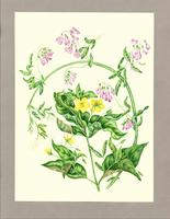 Lysimachia quadrifolia ; Lathyrus palustris