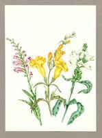 Gerardia quercifolia ; Chelone glabra ; Physostigia virginiana
