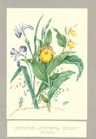 Cypripedium parviflorum ; Cypripedium pubescens ; Iris versicolor ; Vaccinium oxycoccus
