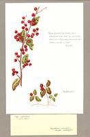Ilex verticillata ; Gaultheria procumbeus