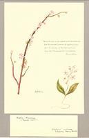 Daphne mezureum ; Calytonia caroliniana
