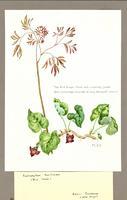 Caulophyllum thalictroides ; Asarum canadense
