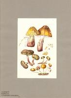 Amanita ; Boletus ; Stropharia semiglobata