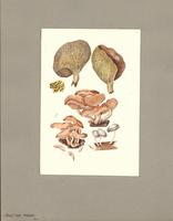 Boletinus porosus