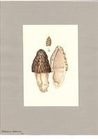 Morchella angusticeps