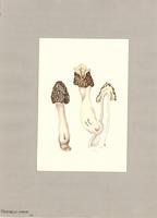 Morchella hybrida