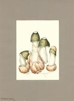 Ithyphallus ravenelii