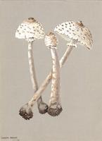 Lepiota procera