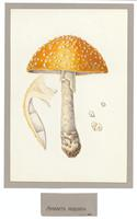 Paintings of Fungi