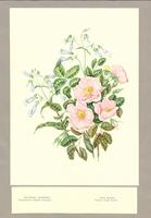 Paintings of Grouped Wild Flowers as Published in Canadian Wild Flowers