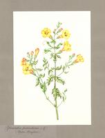 Paintings of Individual Wildflowers